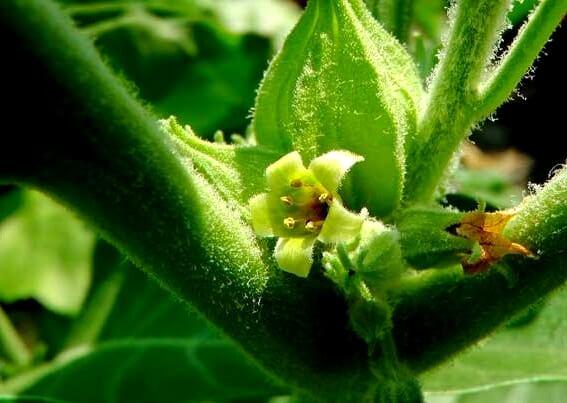 Planta de Ashwagandha