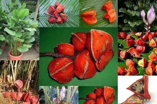taumatina fruto