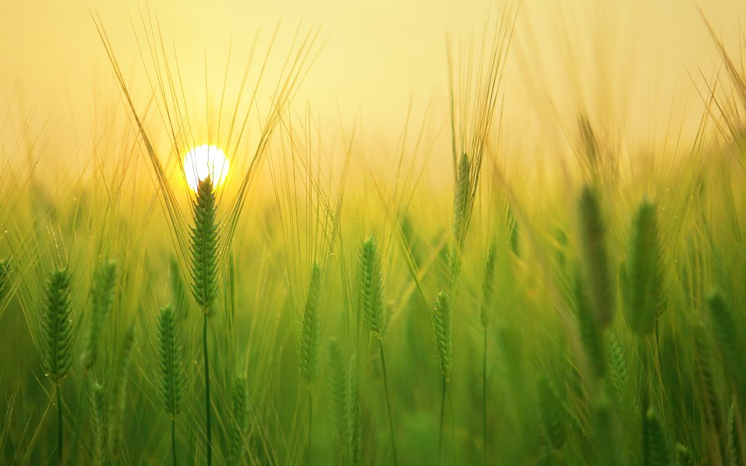 Los beneficios de la cebada verde en el cuerpo y cómo se consume